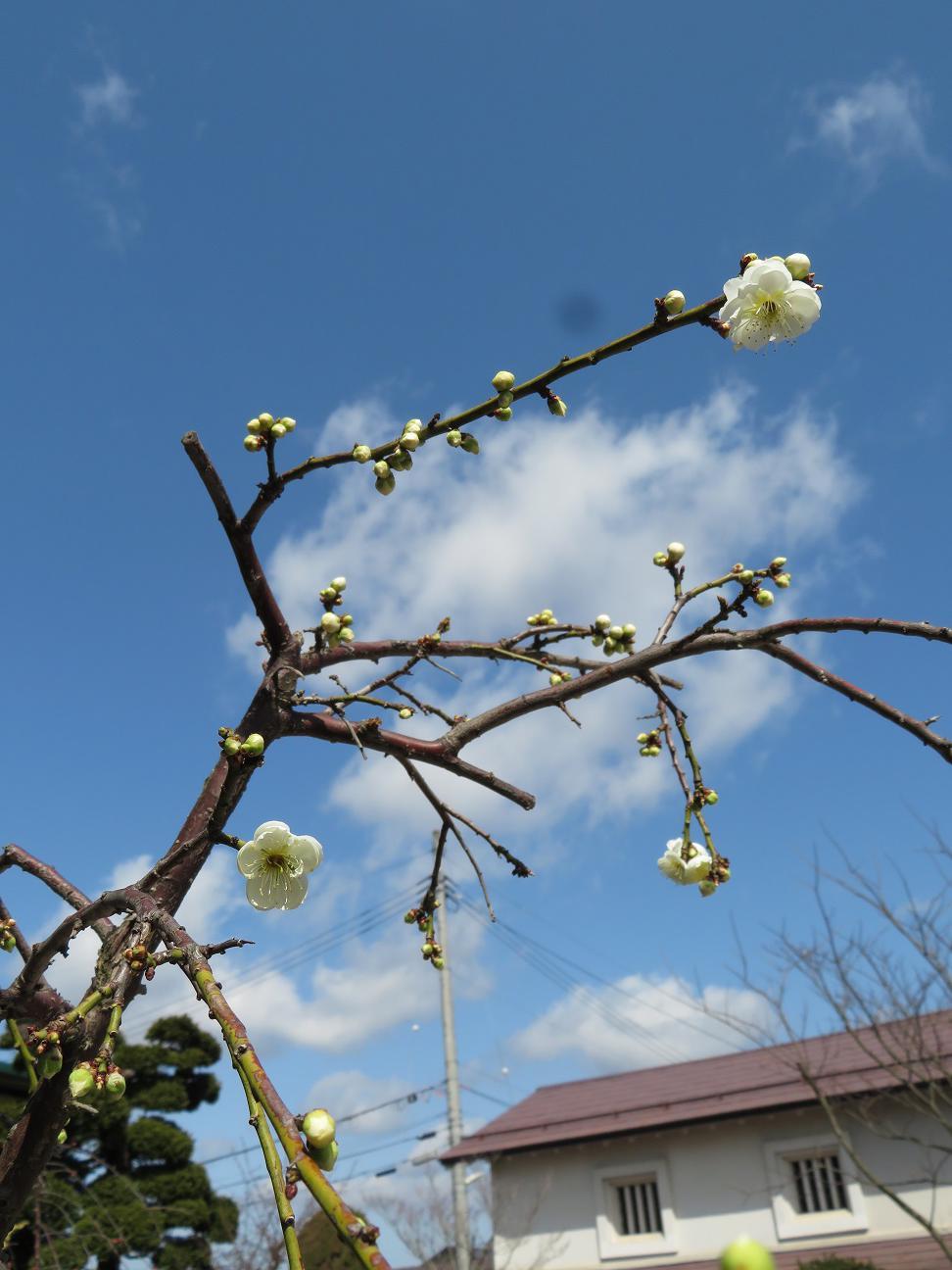 梅が開花、新年度がスタートしました。