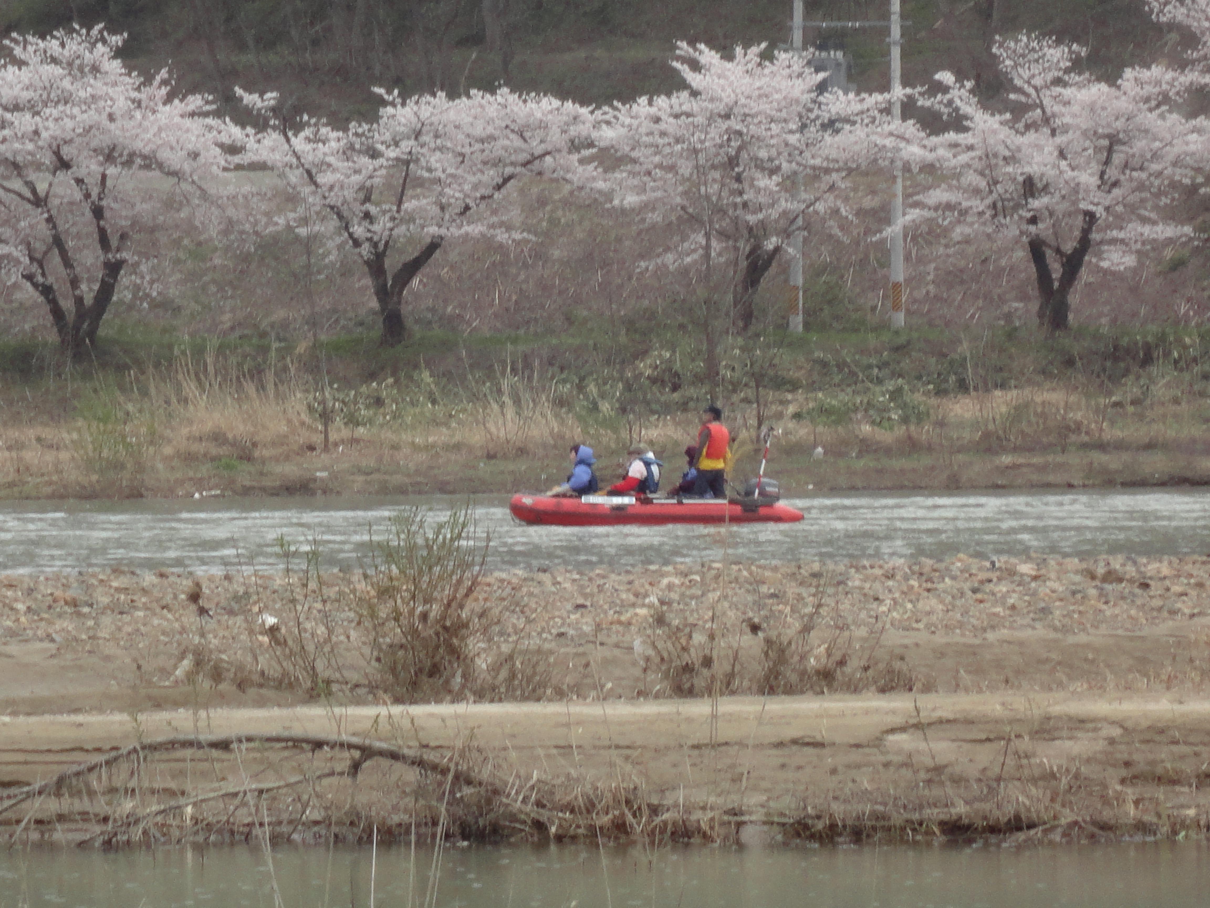 今年も運航!桜の咲く時期限定最上川桜遊覧!
