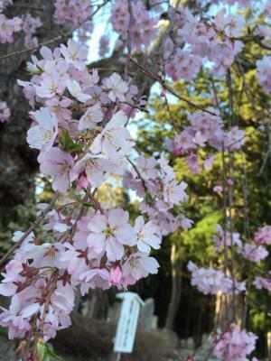 あと1ヶ月ちょっとで桜の時期ですね!!!!!