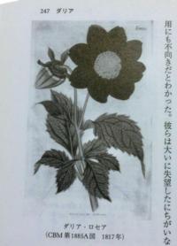 「ダリア(天竺牡丹)物語 Vol.33」の画像