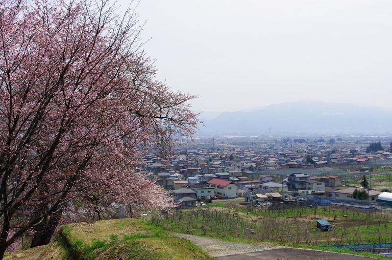 桜の開花状況(山辺町):やまがたへの旅/山形県観光情報 ...