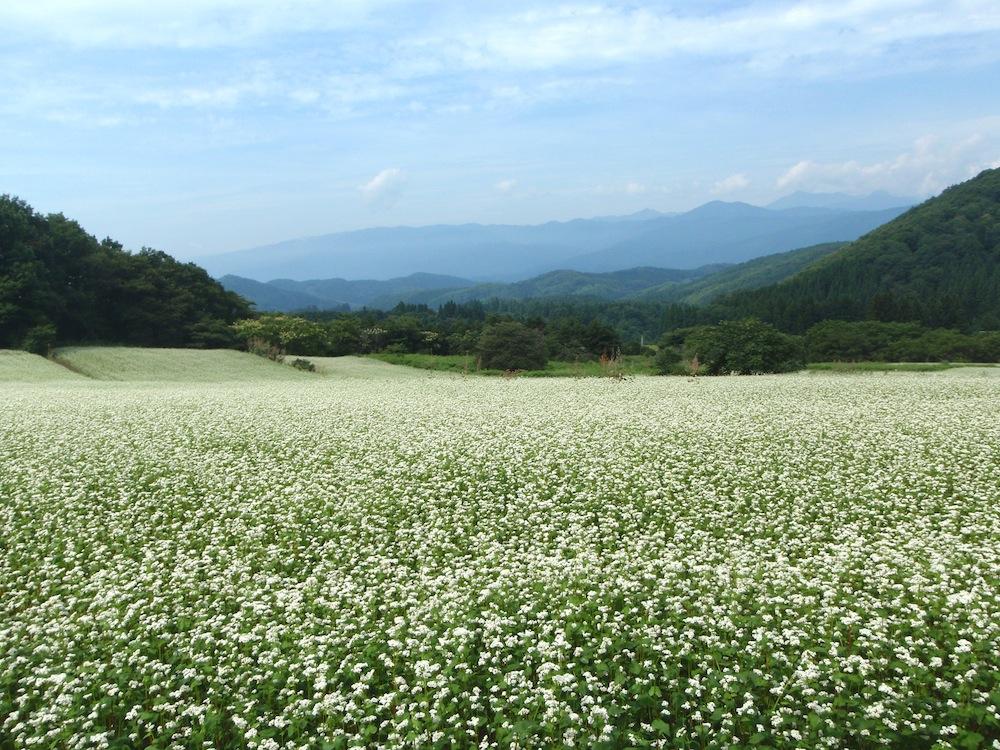 作谷沢の蕎麦畑:画像