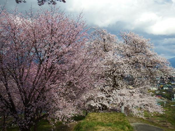 桜の開花状況 【2016.4.15】