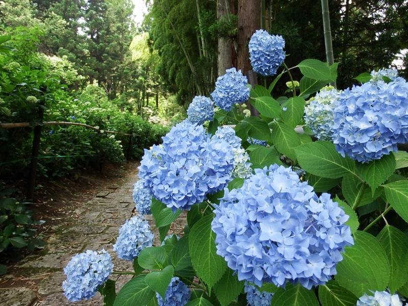 """むらきさわ""""あじさい祭り""""と山辺町""""ラベンダー祭"""" 初夏の花めぐりはいかかでしょうか!"""
