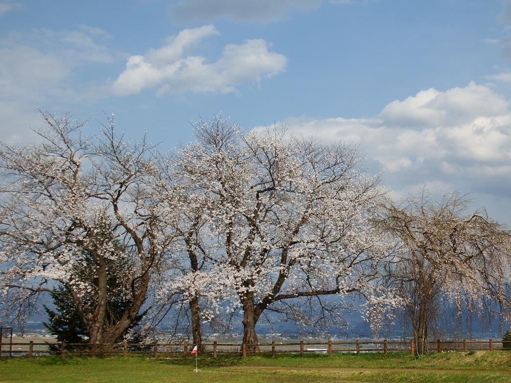 The yamanobeno cherry tree flowering situation