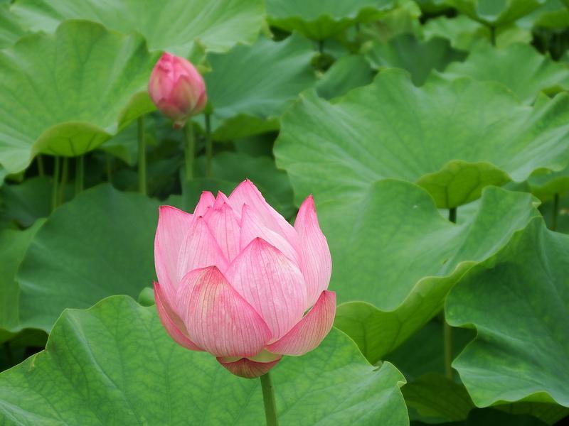 """作谷沢たての香苑""""ハスの花""""が咲きはじめました"""