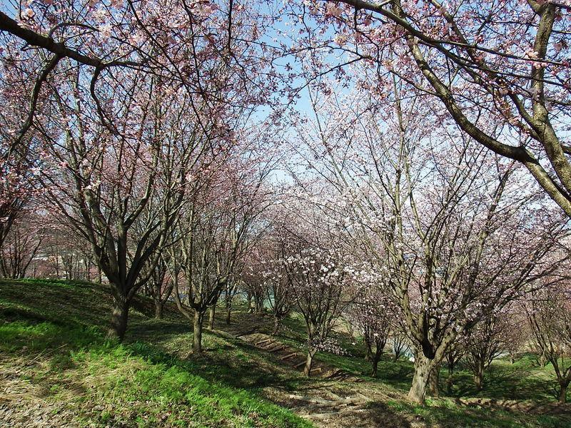やまのべの桜開花状況