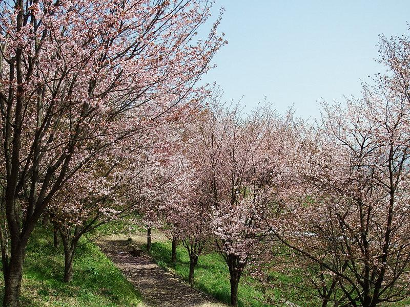 Describe mountain; the cherry tree flowering situation