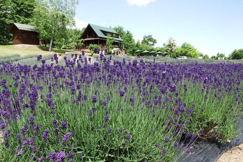 Yamanobe-machi lavender Festivals now being held