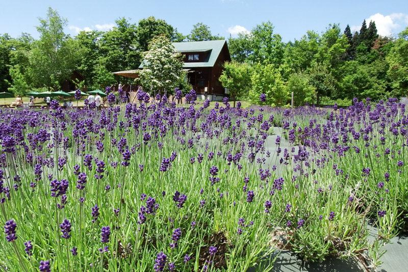 "We carry out lavender Festivals ""Yamanobe tour stamp rally"""