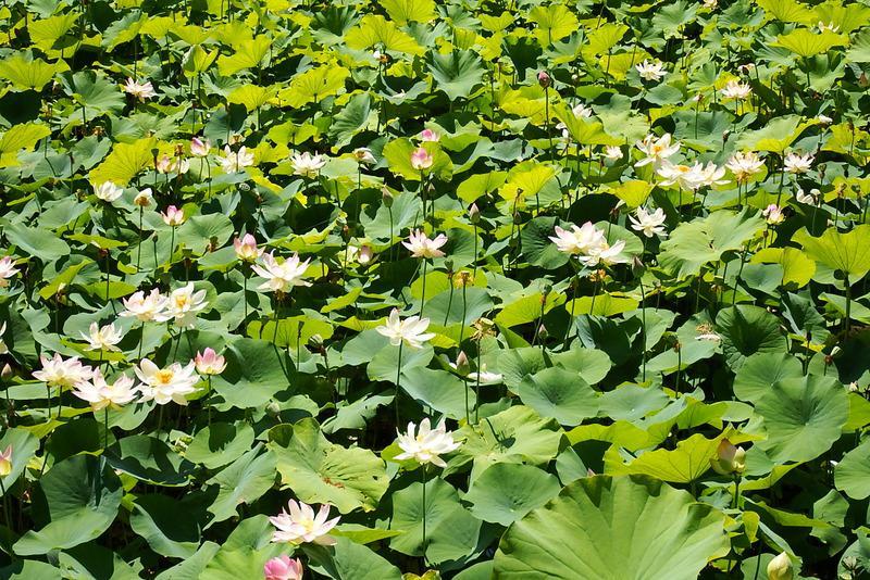 """作谷沢「たての香苑」""""ハスの花""""が咲き始めました"""