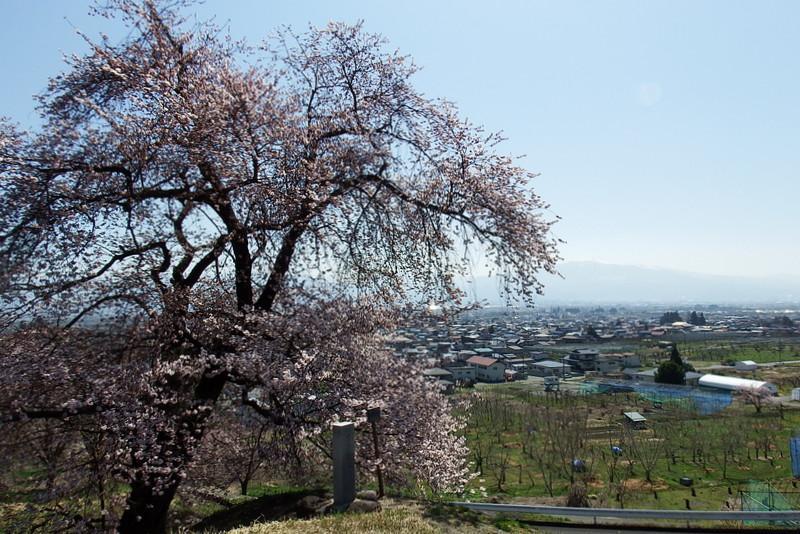 山辺町さくらの開花状況