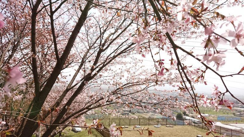 山辺町さくら開花状況