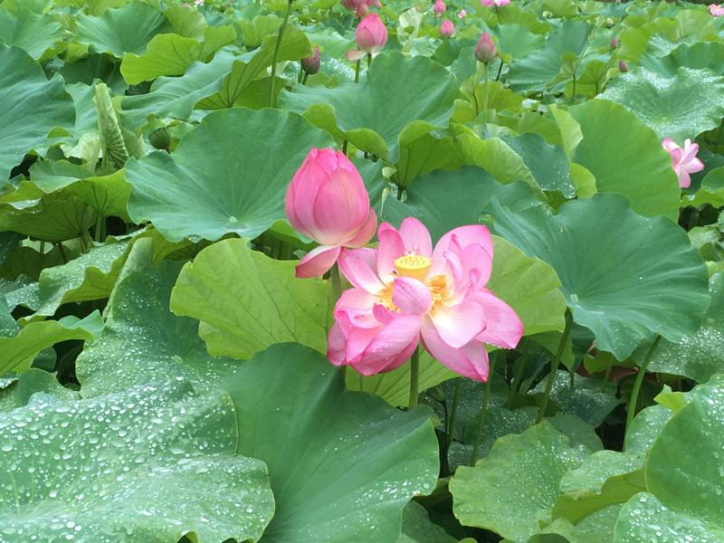 """The Tsukuriya swamp """"vertical incense Land"""" lotus flowering situation"""