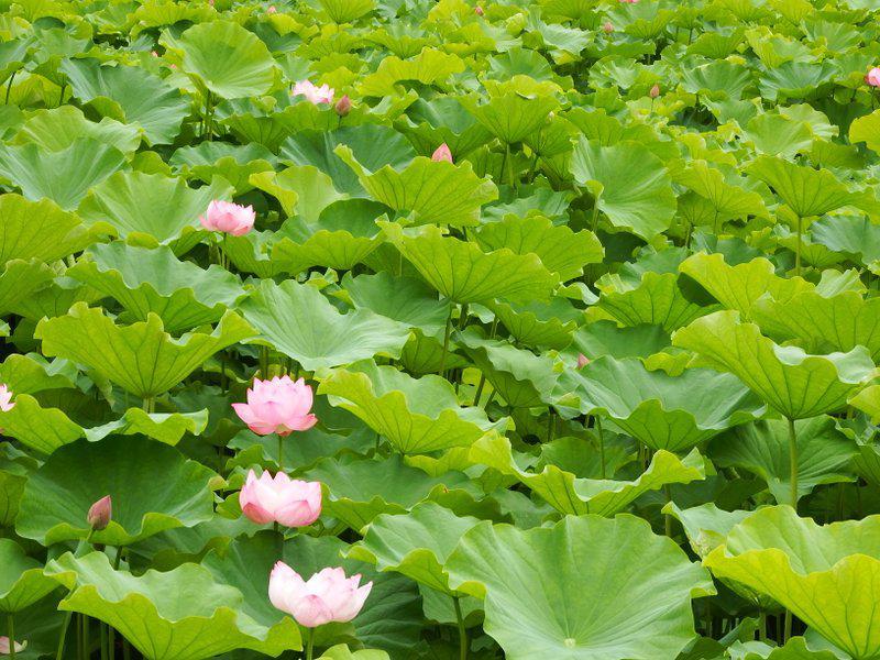 作谷沢たての香苑「ハスの花」開花状況