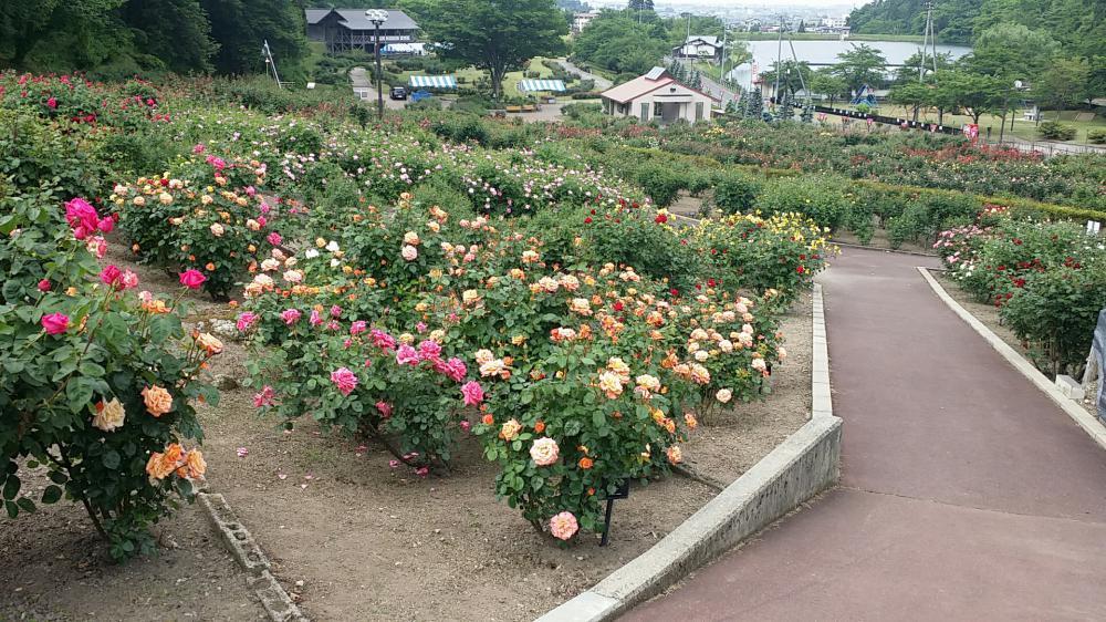 東沢公園薔薇見頃です!:画像