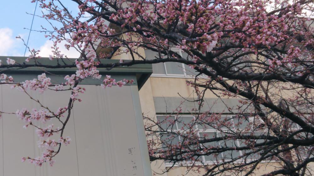 村山でも桜の開花:画像