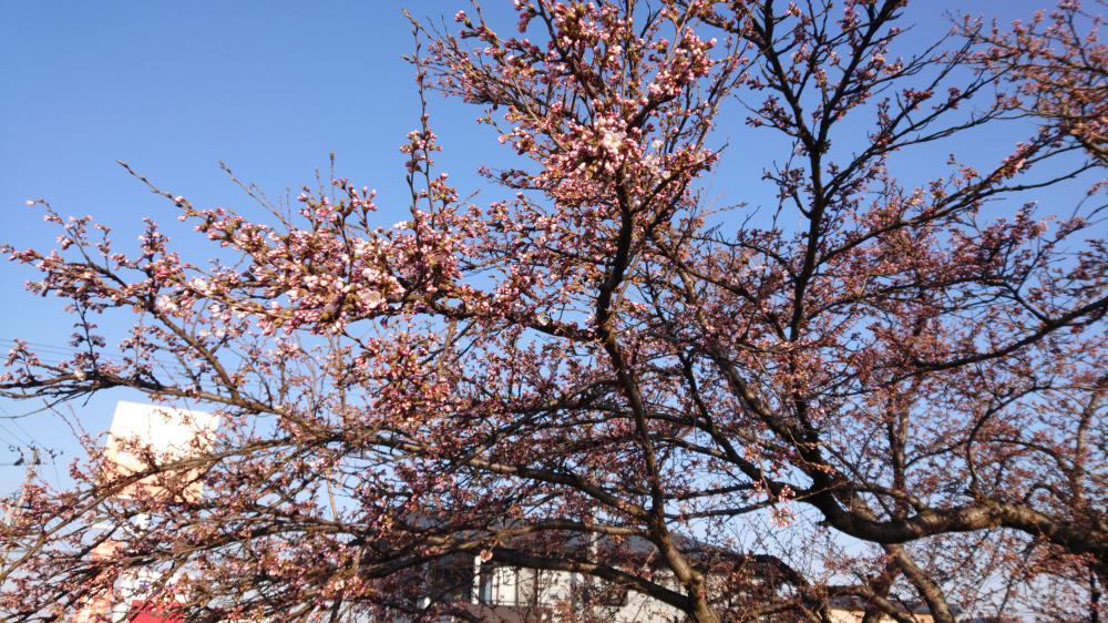 村山駅西口でも(大沢川沿い)桜開花:画像