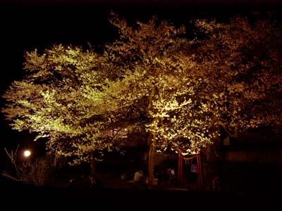 2014/04/19 09:26/種まき桜が咲き始めました