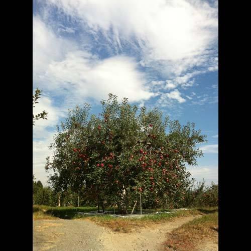 2014/05/01 23:11/朝日町最古のりんごの花を見に行きませんか!