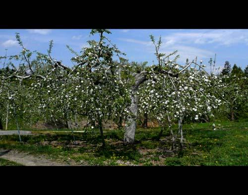 2014/05/07 04:44/朝日町最古のりんごの木が咲きました