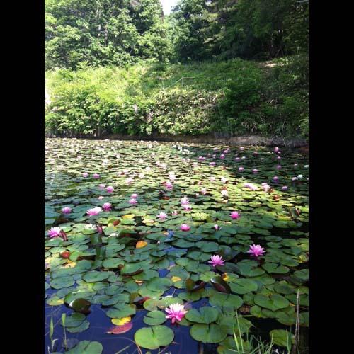 2014/05/31 08:42/大谷の睡蓮ため池が見頃です