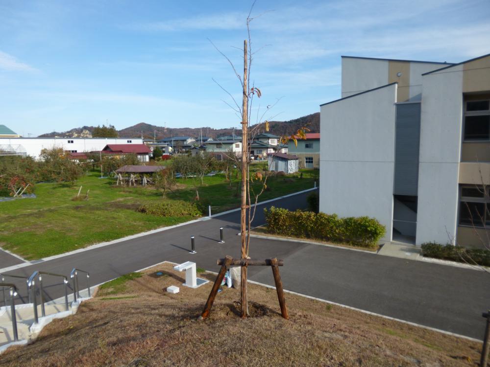 桜の苗木を植樹しました