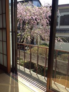 桜 満開:画像