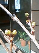 桜のつぼみ LV3