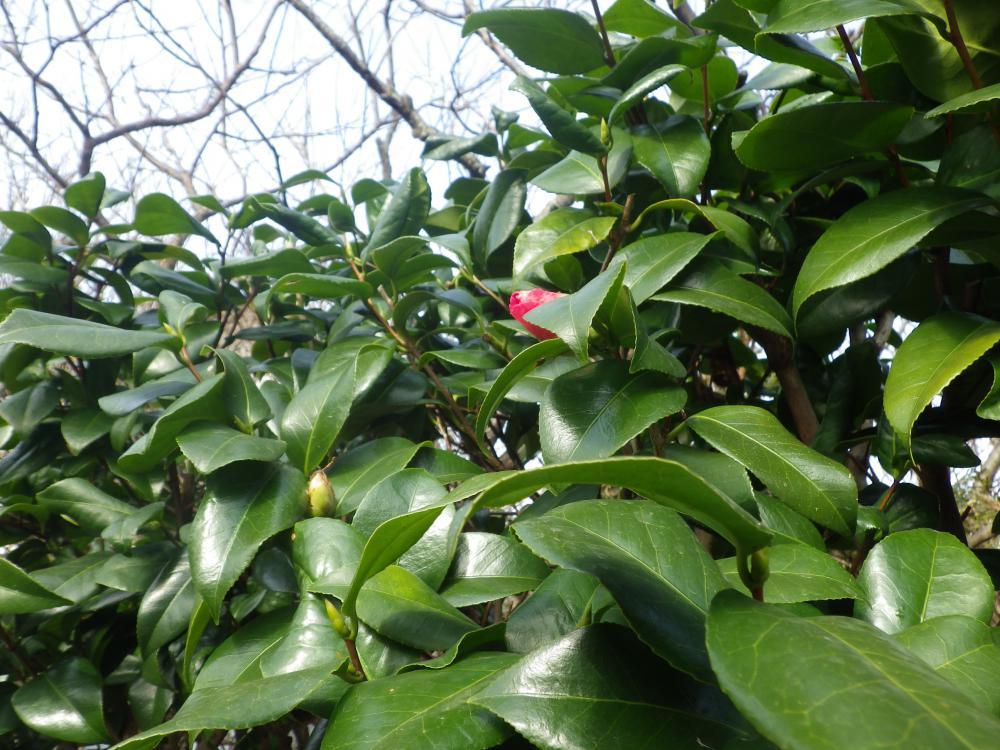 鼠ヶ関の念珠の松庭園には春がきました
