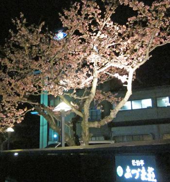 桜 咲きました!:画像