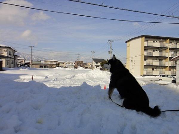《バラ庭》黒柴サスケ~・・冬の暖かい日は、外大好きです!!