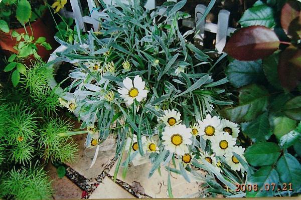 《バラ庭》ガーデンNOW~・・我が家の宿根ガザニア!!