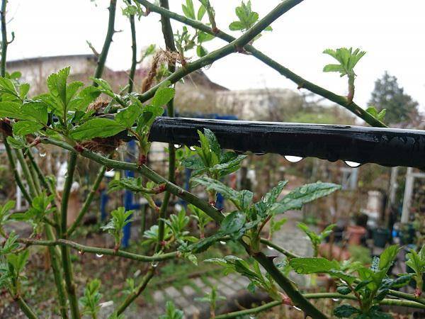 《バラ庭》つれづれ~・・きょうは雨に強風、庭仕事出来ず!!