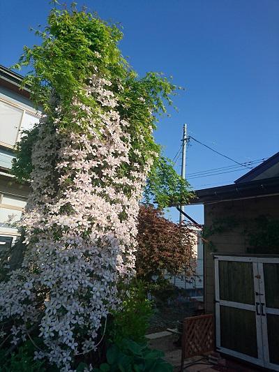 《バラ庭》ガーデンNOW〜・・モンタナが満開に!!/