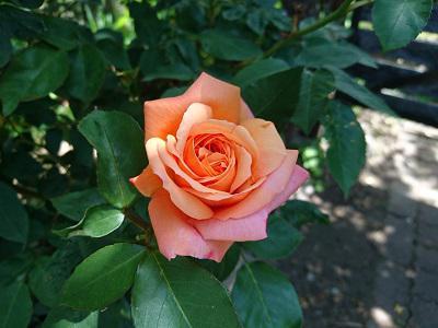 《バラ庭》ガーデンNOW~・・きょうの開花バラ!!