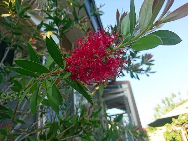 《バラ庭》オープンガーデン情報~・・金宝樹一日で開花。。。