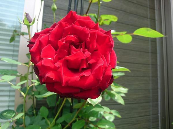 《バラ庭》ガーデンNOW~・・ベルサイユのばら~(^^♪