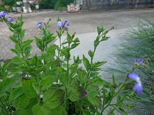 《バラ庭》ガーデンNOW〜・・この花は、どこから?/