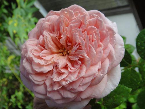 《バラ庭》ガーデンNOW~・・雨の中のバラ~(^^♪