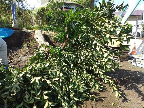 《バラ庭》ガーデンNOW~・・とうとう柿の木伐採!!