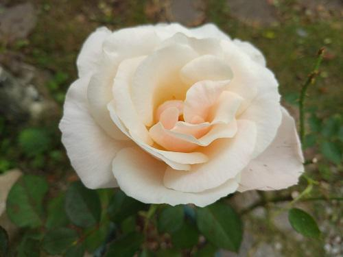 《バラ庭》ガーデンNOW〜・・きのうのバラ!!/