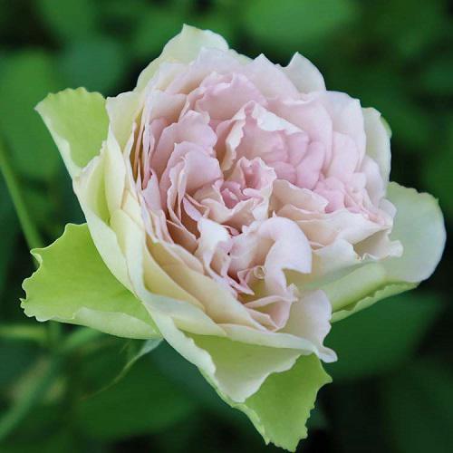 《バラ庭》ガーデンNOW〜・・新入りのバラ。。。!!/