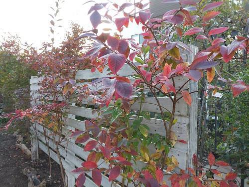 《バラ庭》ガーデンNOW〜・・秋のブルーベリー。。。/