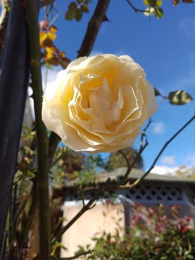 《バラ庭》ガーデンNOW〜・・きょう午前中は青空に!!/