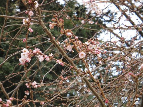 《バラ庭》つれづれ~・・長井小学校に桜が咲いています!