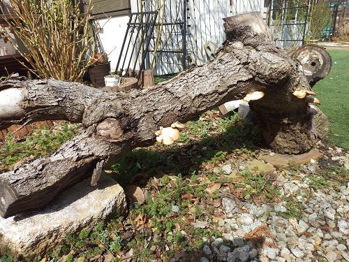 《バラ庭》ガーデンNOW~・・古木に。。。わかりますか?