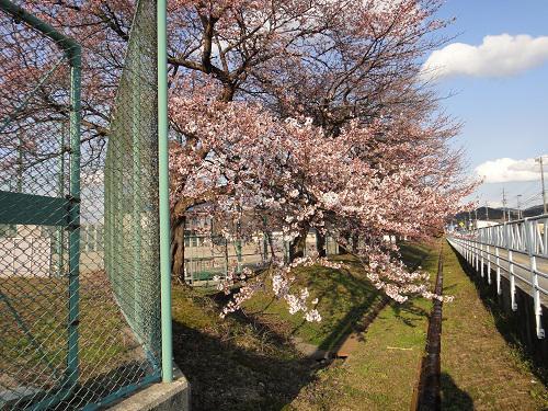 《バラ庭》つれづれ~・・桜、開花しました。。。!!