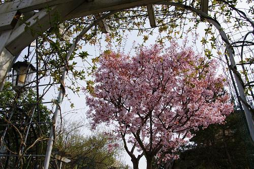 《バラ庭》ガーデンNOW~・・今日の桜~(^^♪