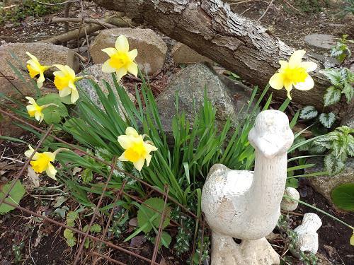 《バラ庭》ガーデンNOW~・・我が家の水仙。。。